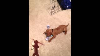 Cooper's First Day Home - 7 Week Old Vizsla Puppy