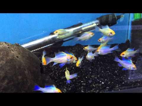 Microgeophagus Ramirezi Neon Blue Doovi