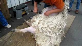 Shearing a Wensleydale ewe at Black Sheep Gathering