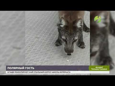 В Надыме полярный лис вышел к людям