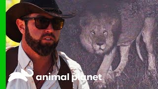 This Huge Lion May Be Related To The Extinct Cape Lion | Extinct Or Alive?