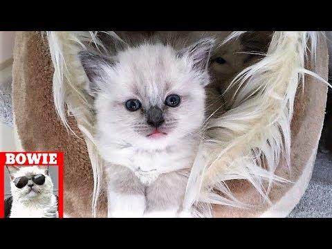 Cute Nine Week Old Ragdoll Kitten Funny Playing