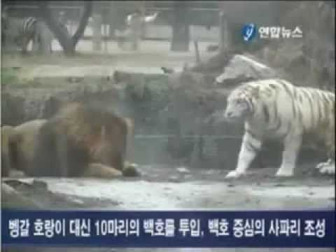 White Tiger Vs African Lion in Korea Part 2