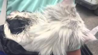 Степаняна-белая кошка