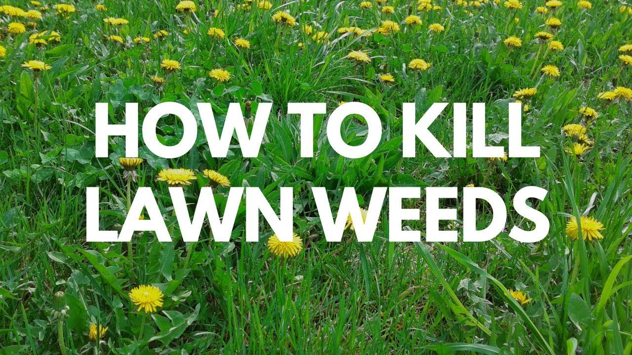 How to Kill Lawn Weeds - Image All In One Weed Killer