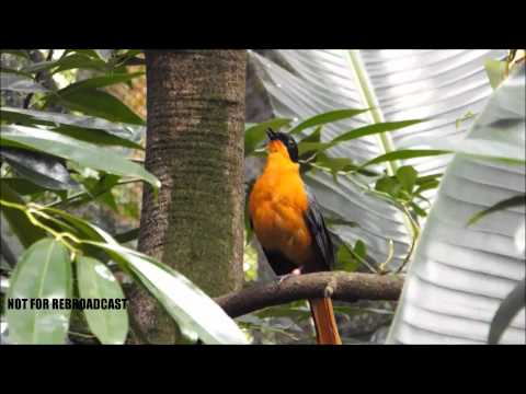 Snowy Headed Robin Chat Bird Whistling Beautiful Sounds
