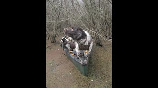 Field bred springer spaniel duck hunts in cold weather