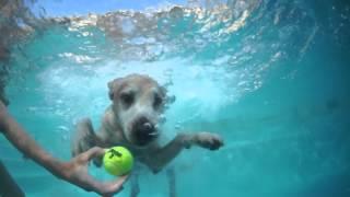 Sammy The Freediving Dog (golden Retriever)  Favorite Game, Freediving For Tennis Balls