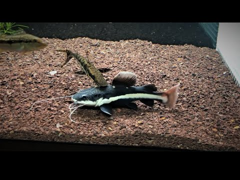 Watch This BEFORE You Buy A REDTAIL CATFISH! |  15'' In Just 6 MONTHS
