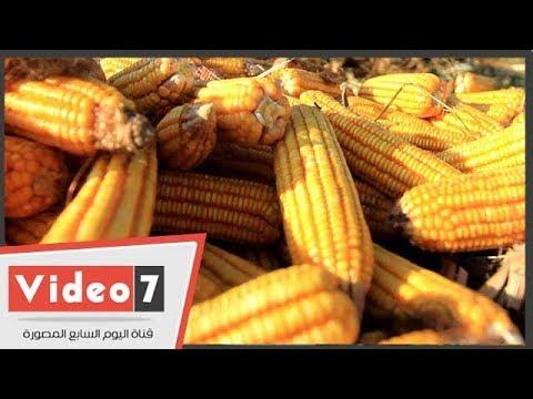 حصاد الذرة رزق الفلاح وحمام الفقراء  - 11:53-2018 / 9 / 8