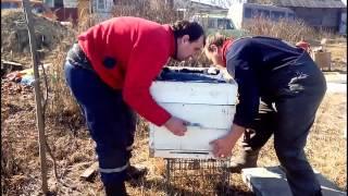 Чистка доньев ульев после зимовки пчел  Cleaning the bottoms of hives after wintering bees