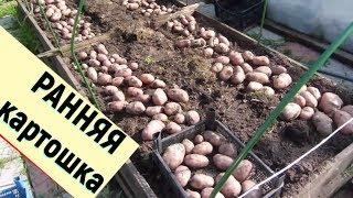 видео Выращиваем ранний, молодой картофель