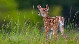 The Green Leaves Of Summer Ennio Morricone Зеленые листья лета