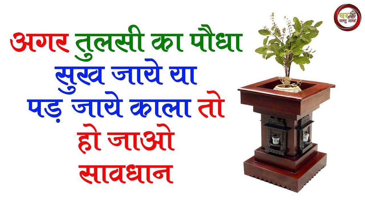 अगर तुलसी का पौधा सुख जाये या पड़ जाये काला तो हो जाओ सावधान | घर में है तुलसी  तो जरुर देखिये || - YouTube