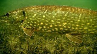 Cannibal pike full video: underwater attacks on fishing lures for muskie gädda snoek haug lucio.