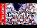 Incredibly Beautiful Tunicates in the Reef Aquarium
