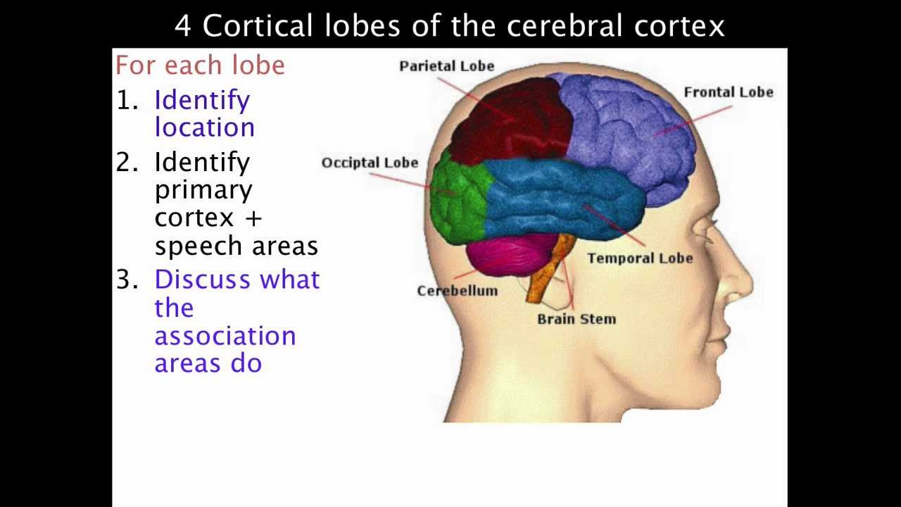 4 lobes of the cerebral cortex - VCE Psychology - YouTube