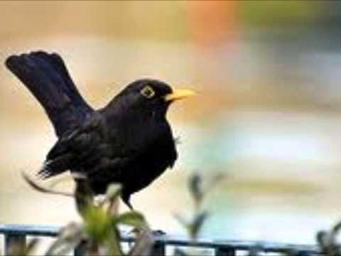 song of the blackbird canto del merlo
