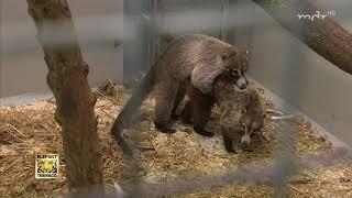 Nasenbären vergnügen sich im Arrest