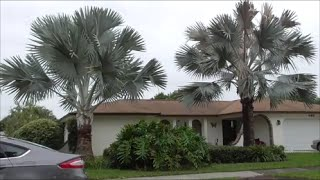 Top 5 Reasons You Should Grow a BISMARK PALM - Bismarkia Nobilis