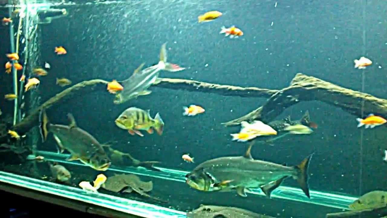 Feeding 16 Inch Goliath Tiger Fish Youtube