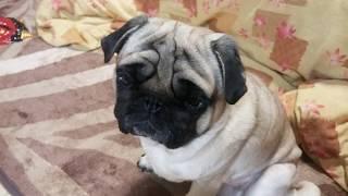 パグ犬ムゥにホットミルクをあげました。最近冷えるので温まると思いま...