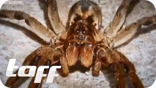 Giftige Spinnen aus dem Supermarkt   taff