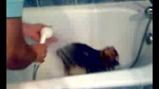 Baño Daisy yorky