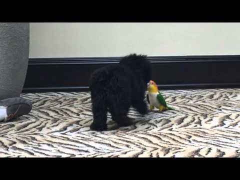 White Bellied Caique (Sweets) w/ Cookie the dog