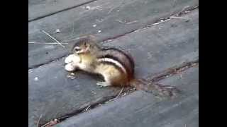 Funny Chipmunks Stealing Peanuts!!