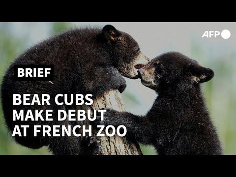 AFP News Agency: Black bear cubs make their debut in eastern France zoo   AFP