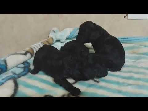 Black miniature poodles
