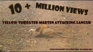 Yellow Throated Marten Attacking Langur( full version) Rarest scenes - Corbett National Park, India
