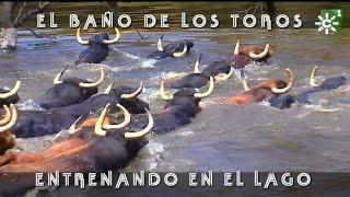 Espectacular baño de los toros en el lago, vistas áreas de dron | Toros desde Andalucía