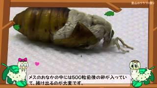 繭から取り出したカイコのさなぎが羽化する映像です。蚕種製造業者(カ...
