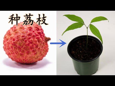 【小插曲】种荔枝<盆栽<仞种子开始,-how-to-grow-lychee-from-seed
