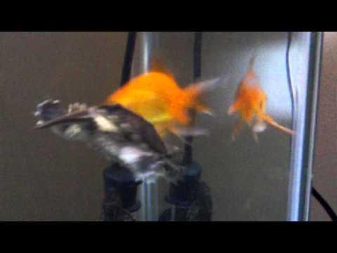 Turtle vs Fish Round 2!!!!