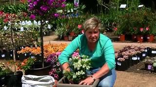 Gardening Tips with Tanya Visser - Bougainvillea