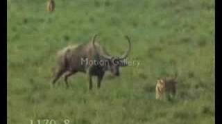 lion vs tiger fight over ox baby feat kurdish techno music