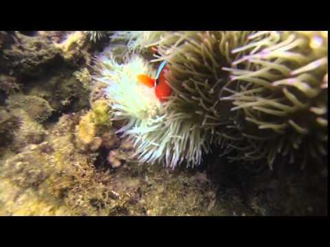 Clow fish in his anemone - Hideaway island - Vanuatu - 06/04/2016