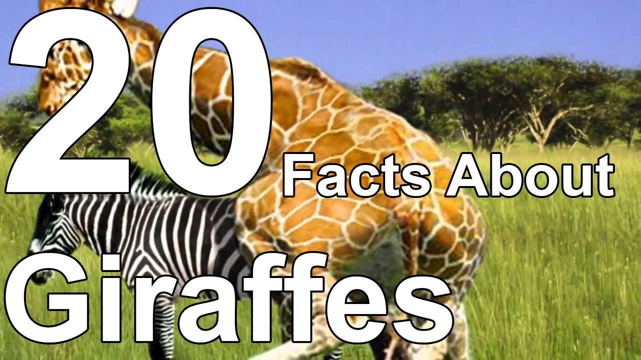 20 Facts About Giraffes - YouTube