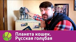 Русская голубая. Планета кошек | Живая Планета