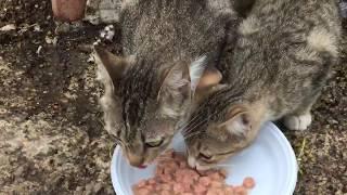 Помощь бездомной семье кошек, ч.2 - кошки VS голуби