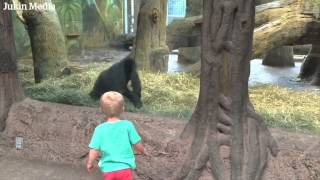 Gorilla plays peek-a-boo with toddler at Columbus Zoo – video