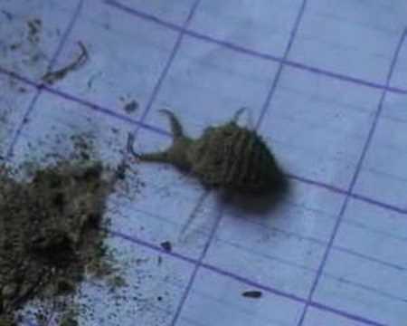 Ant lion captures spider.