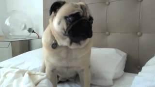 Funny Pug Noises