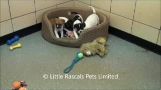 Little Rascals Uk Breeders New Litter Of 3/4 French Bulldog Puppies