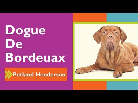 Adogable Dogue De  Bordeaux Facts