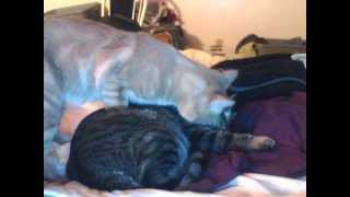 How to stop a cat from snoring