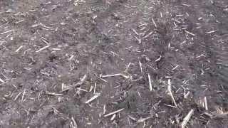 Szkody Łowieckie w kukurydzy Nowa Piasecznica